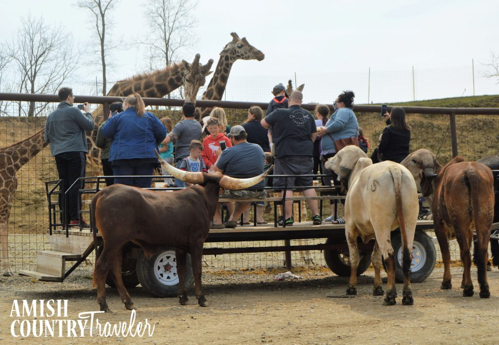 The Farm at Walnut Creek is one of the most popular things to do in Amish Country with kids.