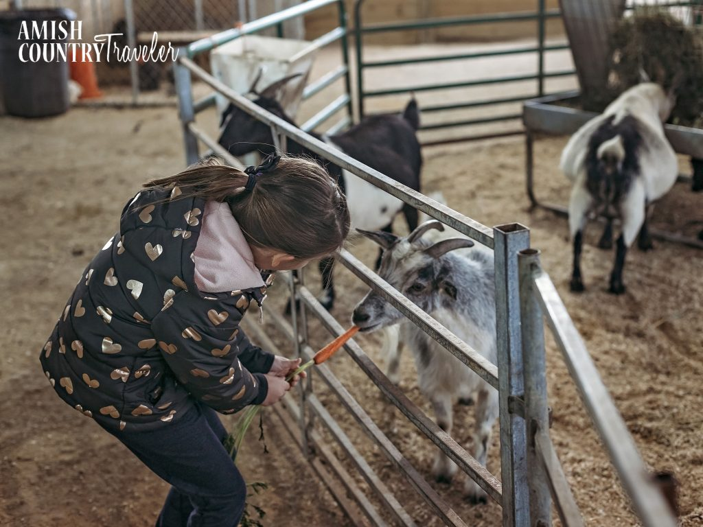 Things to do in Amish Country with kids - Hershberger's Farm & petting zoo